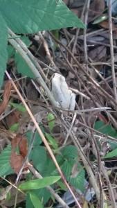 白いアマガエル