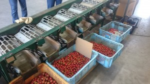 ミニトマトの選別機