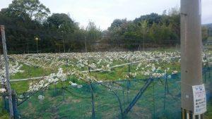 梨棚に咲く花