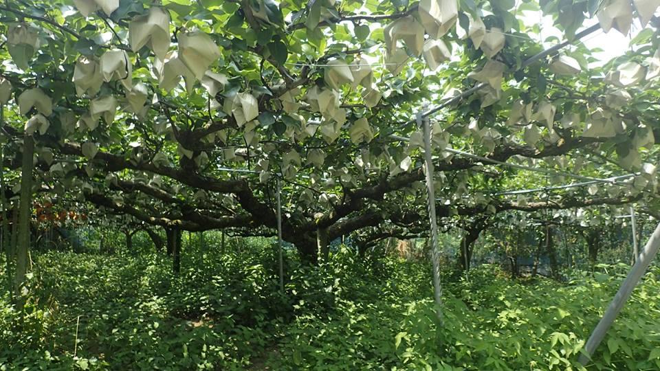 98年の梨の古木