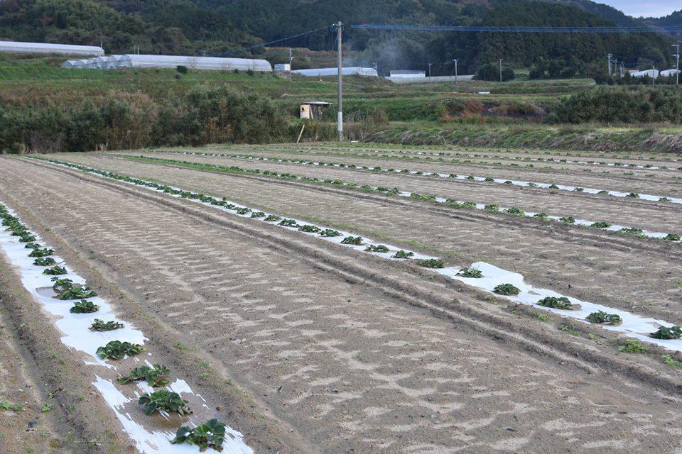 露地でのイチゴの苗とり